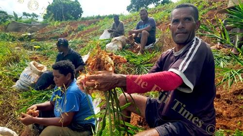 Josateki Sailosi and other farmhands harvest ginger at Baulevu, outside Nausori. Picture: ELIKI NUKUTABU