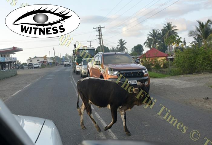 Pardon me! ... A cow makes its way across the road holding up traffic at Saweni in Lautoka yesterday. Picture: BALJEET SINGH
