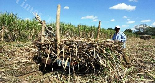 Canefarmers work on a sugarcane field in the West. NFP leader Professor Biman Prasad claims the sugar industry is struggling for survival. Picture: SUPPLIED