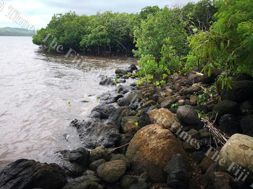 Natures best... mangroves protect our shoreline and provide fish with the perfect breeding ground. Picture: Lice Movono