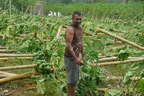 Mohit Kumar surveys the damage at his pawpaw farm after TC Keni. Picture: BALJEET SINGH