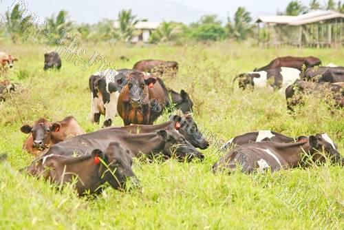 A local insurance provider is intending to develop a micro insurance cover for livestock, specifically to assist dairy farmers. Picture: FT FILE