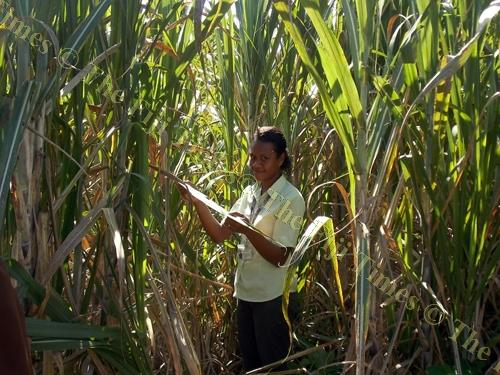 Seni inspects the sugarcane plant leaves on a farm in Buabua, Lovu sector in Lautoka. Picture: SUPPLIED