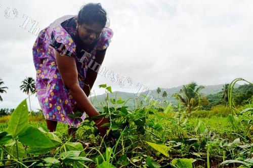 Nakorotari vegetable farmer Ileshni Lata attends to her bean plants damaged by heavy rain. Picture: LUKE RAWALAI